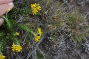 <strong>Asteraceae - Faujasia pinifolia - Cass.</strong><br />© Sarrailh Jean-Michel / CIRAD