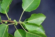 <strong>Moraceae - Ficus densifolia - Miq.</strong><br />© Sarrailh Jean-Michel / CIRAD