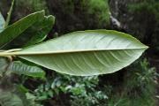 <strong>Escalloniaceae - Forgesia racemosa - J.F.Gmel.</strong><br />© Sarrailh Jean-Michel / CIRAD