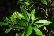 <strong>Loganiaceae - Geniostoma borbonicum - (Lam.) Spreng.</strong><br />© Sarrailh Jean-Michel / CIRAD