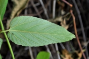 <strong>Rhamnaceae - Gouania mauritiana - Lam.</strong><br />© Sarrailh Jean-Michel / CIRAD
