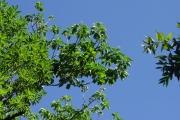 <strong>Hernandiaceae - Hernandia mascarenensis - (Meisn.) Kubitzki</strong><br />© Sarrailh Jean-Michel / CIRAD