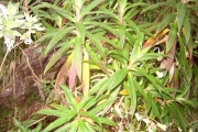 <strong>Campanulaceae - Heterochaenia ensifolia - (Lam.) DC.</strong><br />© Perroud Annaïg