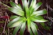 <strong>Campanulaceae - Heterochaenia rivalsii - Badré & Cadet</strong><br />© Perroud Annaïg