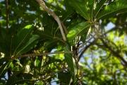 <strong>Linaceae - Hugonia serrata - Lam.</strong><br />© Sarrailh Jean-Michel / CIRAD