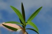 <strong>Hypericaceae - Hypericum lanceolatum - Lam.</strong><br />© Sarrailh Jean-Michel / CIRAD