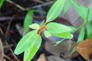 <strong>Sapindaceae - Cossinia pinnata - Comm. ex Lam.</strong><br />© Sarrailh Jean-Michel / CIRAD