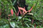 <strong>Sapotaceae - Labourdonnaisia calophylloides - Bojer</strong><br />© Sarrailh Jean-Michel / CIRAD