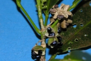 <strong>Rutaceae - Melicope borbonica - (Bory) T.G.Hartley</strong><br />© Sarrailh Jean-Michel / CIRAD
