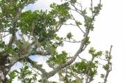 <strong>Rutaceae - Melicope obtusifolia - (DC.) T.G.Hartley</strong><br />© Sarrailh Jean-Michel / CIRAD