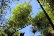 <strong>Poaceae - Nastus borbonicus - J.F.Gmel.</strong><br />© Sarrailh Jean-Michel / CIRAD