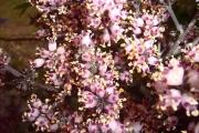 <strong>Stilbaceae - Nuxia verticillata - Lam.</strong><br />© Perroud Annaïg