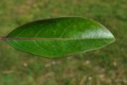 <strong>Stilbaceae - Nuxia verticillata - Lam.</strong><br />© Sarrailh Jean-Michel / CIRAD