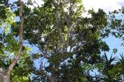 <strong>Olacaceae - Olax psittacorum - (Lam.) Vahl</strong><br />© Perroud Annaïg