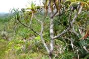 <strong>Pandanaceae - Pandanus montanus - Bory</strong><br />© Turquet Vincent