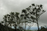 <strong>Pandanaceae - Pandanus montanus - Bory</strong><br />© Sarrailh Jean-Michel / CIRAD