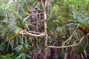 <strong>Pandanaceae - Pandanus montanus - Bory</strong><br />© Perroud Annaïg
