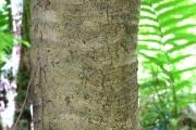 <strong>Pandanaceae - Pandanus purpurascens - Thouars</strong><br />© Baret Stéphane