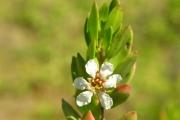 <strong>Lythraceae - Pemphis acidula - J.R.Forst. et G.Forst.</strong><br />© Sarrailh Jean-Michel / CIRAD