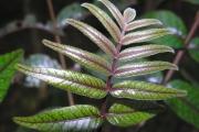<strong>Anacardiaceae - Poupartia borbonica - J.F.Gmel.</strong><br />© Sarrailh Jean-Michel / CIRAD