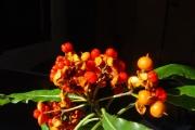 <strong>Pittosporaceae - Pittosporum senacia - Putt.</strong><br />© Sarrailh Jean-Michel / CIRAD