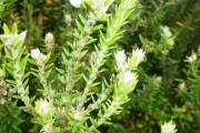 <strong>Rhamnaceae - Phylica nitida - Lam.</strong><br />© Sarrailh Jean-Michel / CIRAD