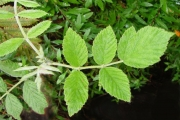 <strong>Rosaceae - Rubus apetalus - Poir.</strong><br />© Sarrailh Jean-Michel / CIRAD