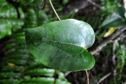 <strong>Smilacaceae - Smilax anceps - Willd.</strong><br />© Sarrailh Jean-Michel / CIRAD