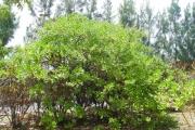 <strong>Goodeniaceae - Scaevola taccada - (Gaertn.) Roxb.</strong><br />© Sarrailh Jean-Michel / CIRAD
