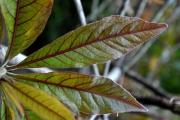 <strong>Combretaceae - Terminalia bentzoë - (L.) L.f.</strong><br />© Sarrailh Jean-Michel / CIRAD