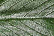 <strong>Boraginaceae - Tournefortia arborescens - Lam.</strong><br />© Sarrailh Jean-Michel / CIRAD