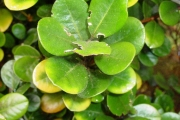 <strong>Meliaceae - Turraea ovata - (Cav.) Harms</strong><br />© Sarrailh Jean-Michel / CIRAD