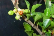 <strong>Meliaceae - Turraea thouarsiana - (Baill.) Cavaco & Keraudren</strong><br />© Sarrailh Jean-Michel / CIRAD