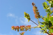 <strong>Cunoniaceae - Weinmannia mauritiana - D.Don</strong><br />© Sarrailh Jean-Michel / CIRAD