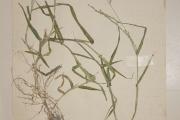 <strong>Poaceae - Acroceras amplectens Stapf.</strong><br />© Alain CARRARA / CIRAD