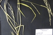 <strong>Poaceae - Acroceras zizanioides (Kunth) Dandy</strong><br />© Aloys KOBUSINGE / AfricaRice