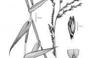<strong>Poaceae - Acroceras zizanioides (Kunth) Dandy</strong><br />© Emmanuel Jacques GNAORE / Herbarium nat de l'Univ d'Abidjan