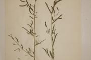 <strong>Fabaceae - Aeschynomene indica L.</strong><br />© Alain CARRARA / CIRAD