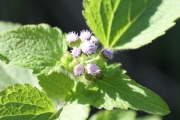 <strong>Asteraceae - Ageratum conyzoides L.</strong><br />© Thomas LE BOURGEOIS / CIRAD
