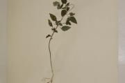 <strong>Asteraceae - Ageratum conyzoides L.</strong><br />© Alain CARRARA / CIRAD