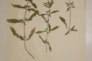 <strong>Amaranthaceae - Alternanthera nodiflora R.Br.</strong><br />© Alain CARRARA / CIRAD