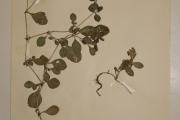 <strong>Amaranthaceae - Alternanthera pungens H.B.K.</strong><br />© Alain CARRARA / CIRAD