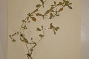 <strong>Amaranthaceae - Alternanthera sessilis (L.) R.Br. ex DC</strong><br />© Alain CARRARA / CIRAD