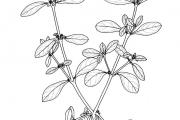 <strong>Amaranthaceae - Alternanthera sessilis (L.) R.Br. ex DC</strong><br />© Aya Lazare AMON / Herbarium national de l'Université d'Abidjan