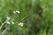 <strong>Alismataceae - Alisma lanceolatum With.</strong><br />© Estelle DOMINATI / Cirad