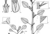 <strong>Amaranthaceae - Amaranthus spinosus L.</strong><br />© François KAMGA TCHAYE / CIRAD