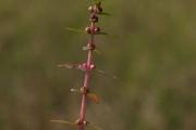 <strong>Lythraceae - Ammannia baccifera L.</strong><br />© Pierre GRARD/ CIRAD