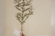 <strong>Lythraceae - Ammannia baccifera L.</strong><br />© Alain CARRARA / CIRAD