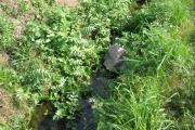 <strong>Apiaceae - Apium nodiflorum (L.) Lag.</strong><br />© Estelle DOMINATI / Cirad