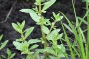 <strong>Plantaginaceae - Bacopa crenata (P.Beauv.) Hepper</strong><br />© Alain CARRARA / CIRAD